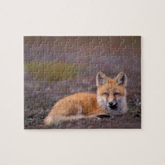 NA, USA, Alaska, red fox, Vulpes vulpes, in fall Jigsaw Puzzle