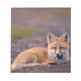 NA, USA, Alaska, red fox, Vulpes vulpes, in fall Notepad