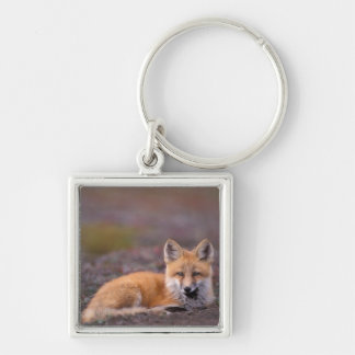 NA, USA, Alaska, red fox, Vulpes vulpes, in fall Silver-Colored Square Key Ring