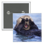 NA, USA, Alaska. Sea otters are the largest Button