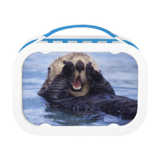 NA, USA, Alaska. Sea otters are the largest Lunchbox