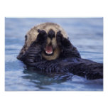 NA, USA, Alaska. Sea otters are the largest Poster