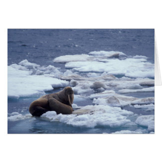 NA, USA, Alaska, Walrus and young on ice in Card