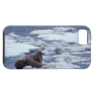 NA, USA, Alaska, Walrus and young on ice in iPhone 5 Case