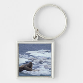 NA, USA, Alaska, Walrus and young on ice in Key Ring