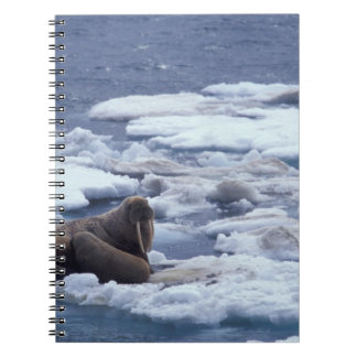 NA, USA, Alaska, Walrus and young on ice in Notebooks