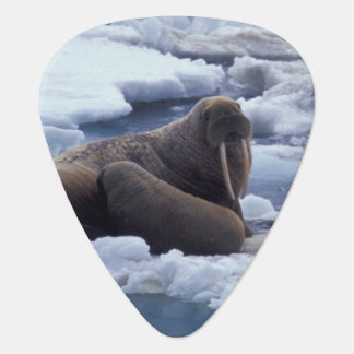 NA, USA, Alaska, Walrus and young on ice in Plectrum