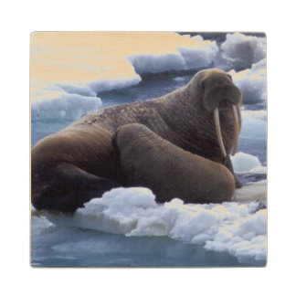 NA, USA, Alaska, Walrus and young on ice in Wood Coaster
