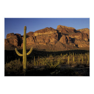 NA, USA, Arizona. Organ Pipe Cactus National 2 Poster