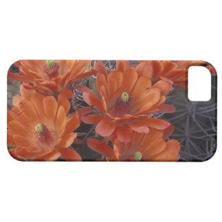 NA, USA, Arizona, San Xavier. Claret Cup cactus iPhone 5 Cover