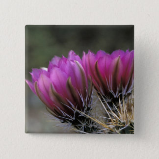 NA, USA, Arizona, Sonoran Desert. Hedgehog 15 Cm Square Badge