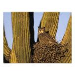 NA, USA, Arizona, Tucson. Great horned owl on Photograph
