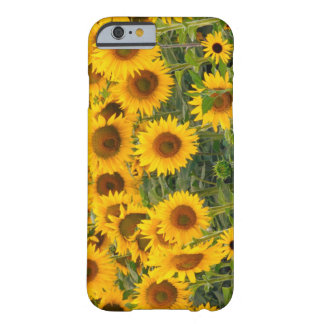 Na, USA, Colorado, Sunflowers Barely There iPhone 6 Case