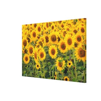 Na, USA, Colorado, Sunflowers Canvas Print