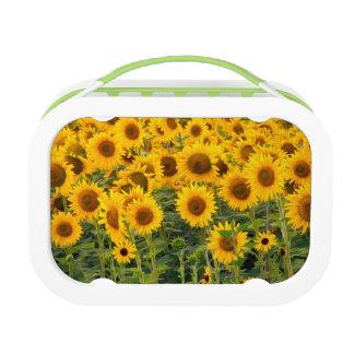 Na, USA, Colorado, Sunflowers Lunch Box