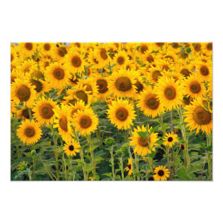 Na, USA, Colorado, Sunflowers Photo Print