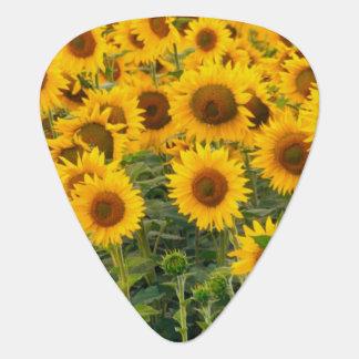 Na, USA, Colorado, Sunflowers Plectrum