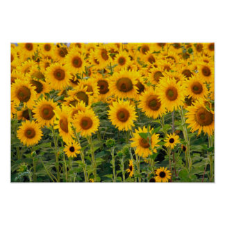 Na, USA, Colorado, Sunflowers Poster