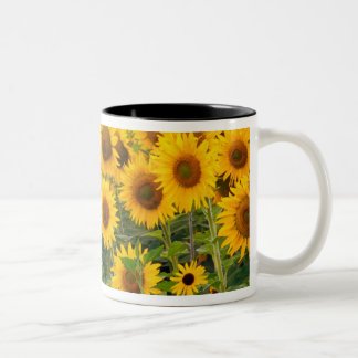 Na, USA, Colorado, Sunflowers Two-Tone Coffee Mug