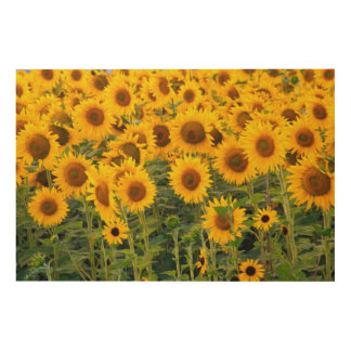 Na, USA, Colorado, Sunflowers Wood Wall Decor