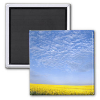 Na, USA, ID, Grangeville, Field of Canola Crop Square Magnet