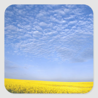 Na, USA, ID, Grangeville, Field of Canola Crop Square Sticker