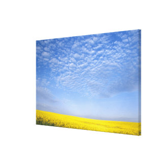 Na, USA, ID, Grangeville, Field of Canola Crop Stretched Canvas Print
