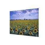 NA, USA, Kansas, Sunflower crop Canvas Prints