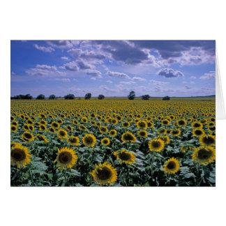 NA, USA, Kansas, Sunflower crop Card