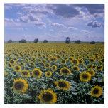 NA, USA, Kansas, Sunflower crop Large Square Tile