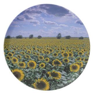 NA, USA, Kansas, Sunflower crop Plate