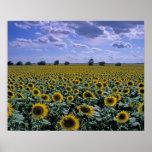 NA, USA, Kansas, Sunflower crop Poster