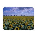 NA, USA, Kansas, Sunflower crop Rectangular Photo Magnet