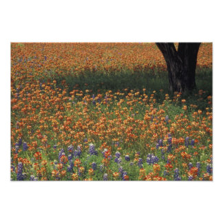 NA, USA, Texas, Hill Country, Paint brush and Photo Print