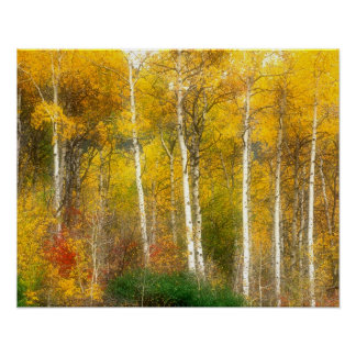 NA, USA, Washington, Fall Aspen Trees along Poster