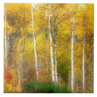 NA, USA, Washington, Fall Aspen Trees along Tile