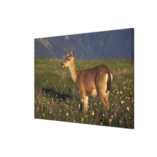 NA, USA, Washington, Olympic NP, Mule deer doe 2 Canvas Print