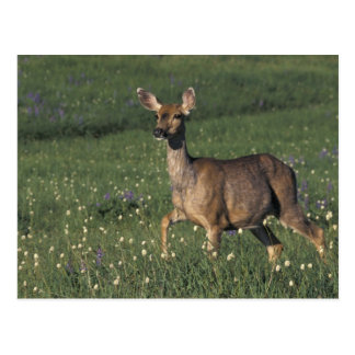 NA, USA, Washington, Olympic NP, Mule deer doe 2 Postcard