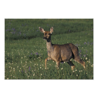 NA, USA, Washington, Olympic NP, Mule deer doe 2 Poster