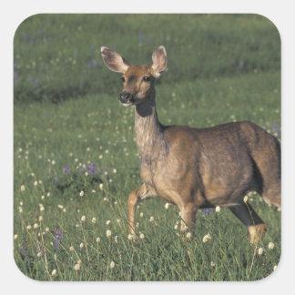 NA, USA, Washington, Olympic NP, Mule deer doe 2 Square Sticker