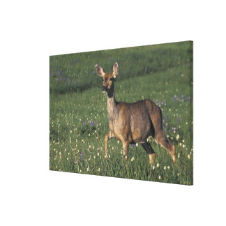 NA, USA, Washington, Olympic NP, Mule deer doe Canvas Print
