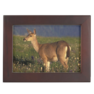 NA, USA, Washington, Olympic NP, Mule deer doe Keepsake Box