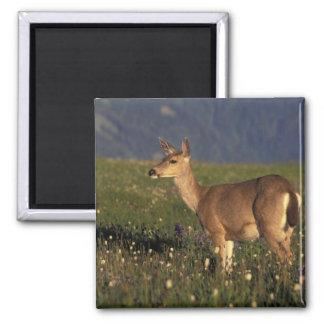 NA, USA, Washington, Olympic NP, Mule deer doe Magnet