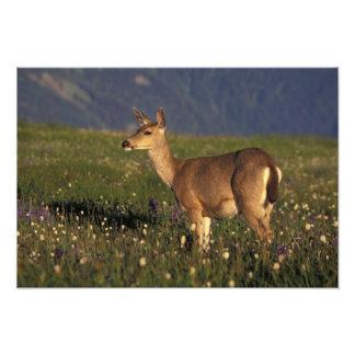 NA, USA, Washington, Olympic NP, Mule deer doe Photo Print