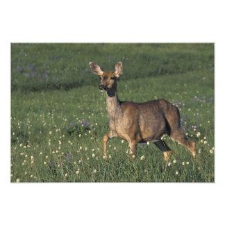 NA, USA, Washington, Olympic NP, Mule deer doe Photograph