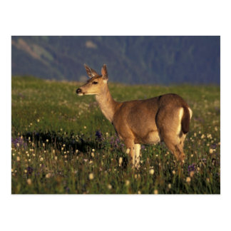 NA, USA, Washington, Olympic NP, Mule deer doe Postcard