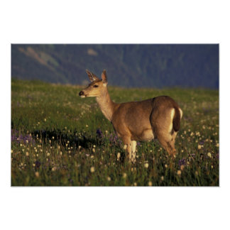 NA, USA, Washington, Olympic NP, Mule deer doe Poster