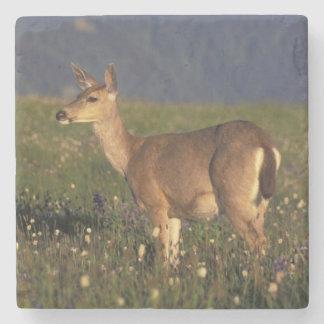 NA, USA, Washington, Olympic NP, Mule deer doe Stone Coaster
