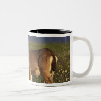 NA, USA, Washington, Olympic NP, Mule deer doe Two-Tone Coffee Mug