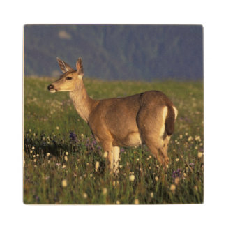 NA, USA, Washington, Olympic NP, Mule deer doe Wood Coaster